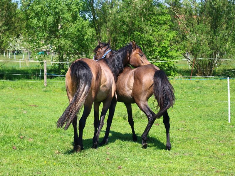 Young Horses Horse Thoroughbred Arabian Brown Mold
