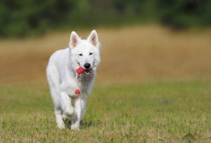 white dog walking and holding a toy in his mouth