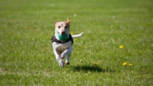 terrier is running while holding a ball and doing some exercise