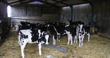 Introducing Concentrates to Autumn Calves