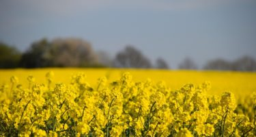 Implications for Winter Oilseed Rape due to Neonics Ban