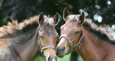 Physitis/Epiphysitis in Foals