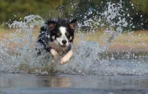 working dog is running through the water as a part of his daily exercise