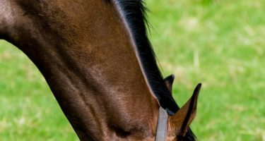 Equine Feed Allergies