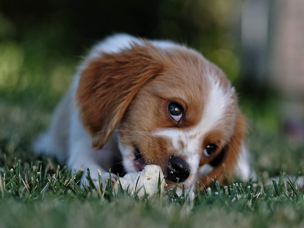 small puppy eats something that can cause vomiting
