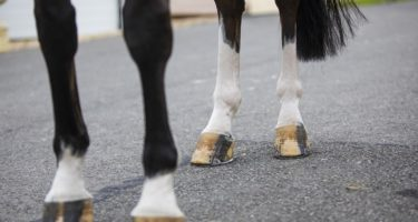 Laminitis and Insulin Resistance