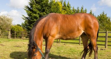 Feeding to avoid Laminitis